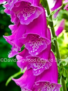 Foxglove (Digitalis purpurea) flowers