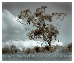 Gum tree, Snowy Mountains, NSW, Australia