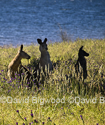 Eastern Grey kangaroo (Macropus giganteus) by Blowering Dam, Sno