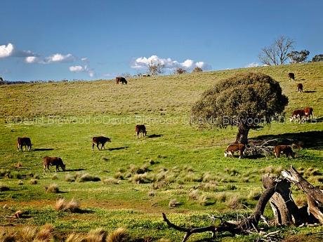 Australia: Hereford cattle grazing, Snowy Mountains, New South Wales