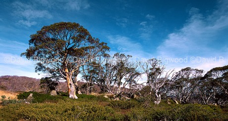 Australia: Snow gums, Snowy Mountains, NSW